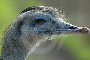Emu Free Stock Images