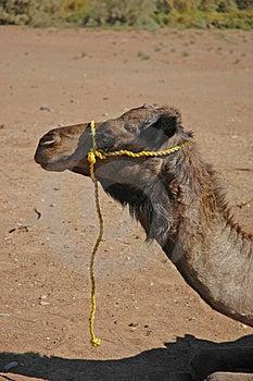Kamel med det gula repet Arkivbild