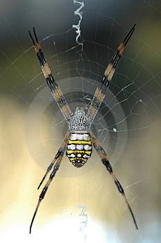 Spinne auf Webb Stockfoto