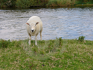 Sheep Free Stock Image