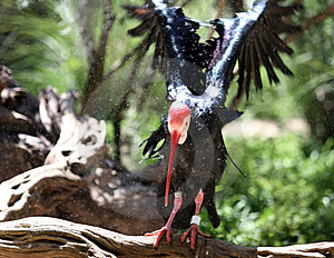 Northern Bald Ibis Stock Image
