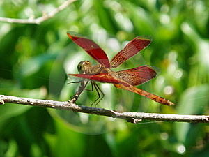 Dragonfly Free Stock Image