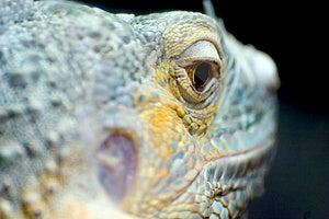 Iguana Eye Stock Photo