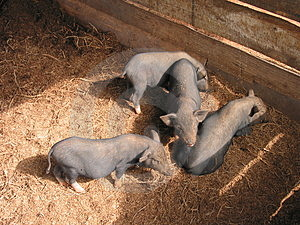 Piglets Free Stock Images