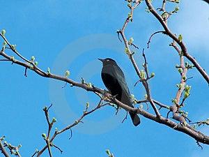 Почерните птицу Стоковая Фотография