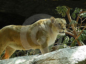 Lioness Free Stock Images