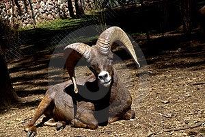 Lamb Muflon Stock Images