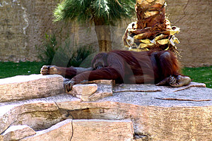 Lazy Orangutan Royalty Free Stock Image