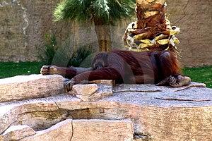 Lazy Orangutan Free Stock Image