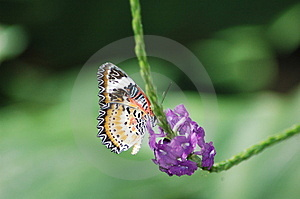 Butterfly Feeding Free Stock Image