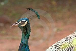 Peacock Free Stock Image