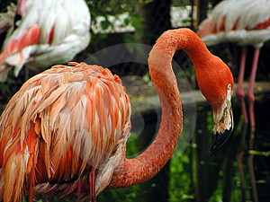 Flamingo Free Stock Photography