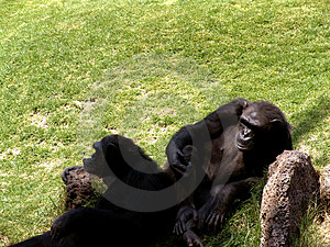 Lazy Ape Stock Photo