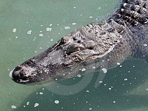 Gator Head Stock Photo