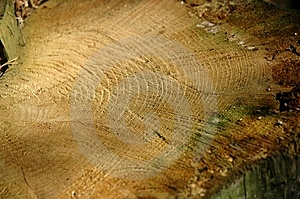 Close-up Of A Felled Tree. Stock Photos
