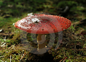 Giftige paddestoel #3 Stock Foto's