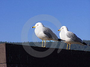 A Pair Of Gulls Stock Image