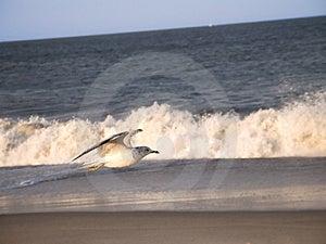 Seagull i kipiel Obrazy Stock