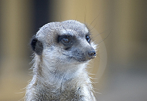 Meerkats Free Stock Photo