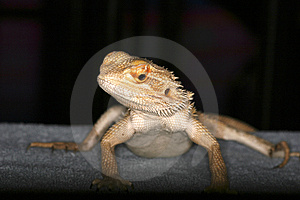 Lyzard Stock Images