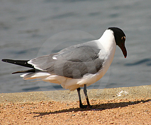 Sea Gull Stock Image