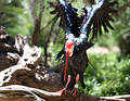 Noordelijke kale ibis Stock Afbeelding