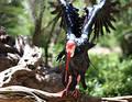 Ibis calvo septentrional Imagen de archivo