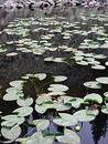Yellowstone Lily Pads