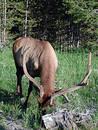 Yellowstone Elk Free Stock Photos
