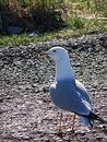 Lone Gull Stock Photo