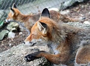 Fox 6 Royalty Free Stock Photos - Image: 1002758