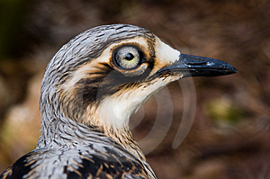 Bush Thick-Knee Stock Photos - Image: 1006173