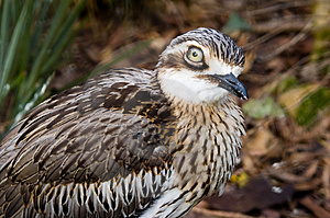Bush Thick-Knee Intimate Stock Image - Image: 1006181