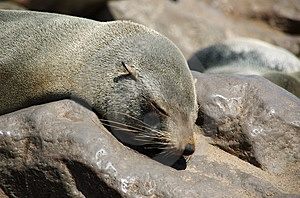 Sleeping Seal Royalty Free Stock Photo - Image: 1009435