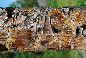 Pine Plank Royalty Free Stock Images - Image: 1009899