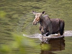 Female Moose Mammal D Stock Image - Image: 10007451
