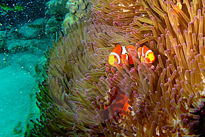 A Pair Of Clown Fish Royalty Free Stock Images - Image: 10013179