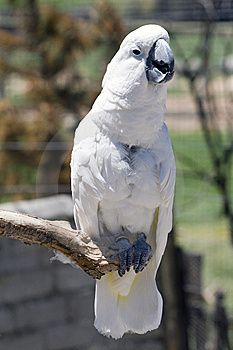 White Parrot Perching Royalty Free Stock Photos - Image: 10013798
