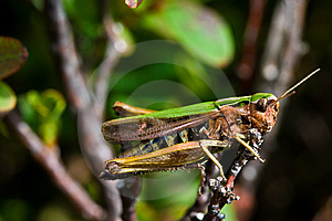 Green Grasshopper Sitting On A Branch Stock Images - Image: 10016334