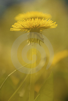 Dandelion Background Stock Photos - Image: 10021093