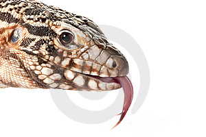 Red Tegu Royalty Free Stock Photos - Image: 10032598