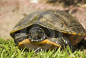 River Turtle Peeking Out Stock Photography - Image: 10032762