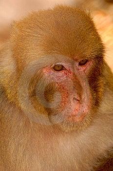 Portrait Of Monkey Royalty Free Stock Image - Image: 10034826