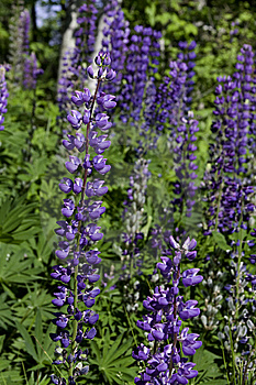 Purple Lupines Royalty Free Stock Photo - Image: 10036905