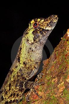 Anole Lizard Stock Photos - Image: 10037013