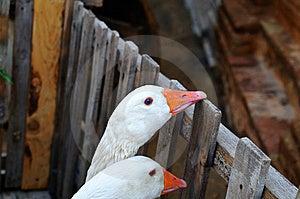 Two Ducks Stock Photo - Image: 10038320