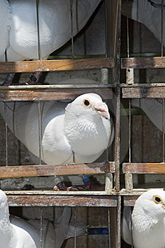 Cage With White Pigeons Stock Photo - Image: 10044570