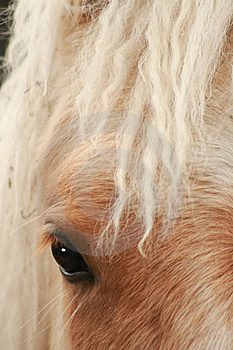 Blonde Horse Stock Image - Image: 10053531