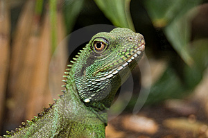 Colorful Portrait Of An Iguana Royalty Free Stock Photo - Image: 10056305