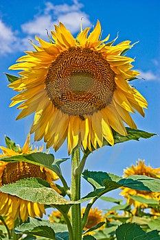 Sunflower Stock Photos - Image: 10059403